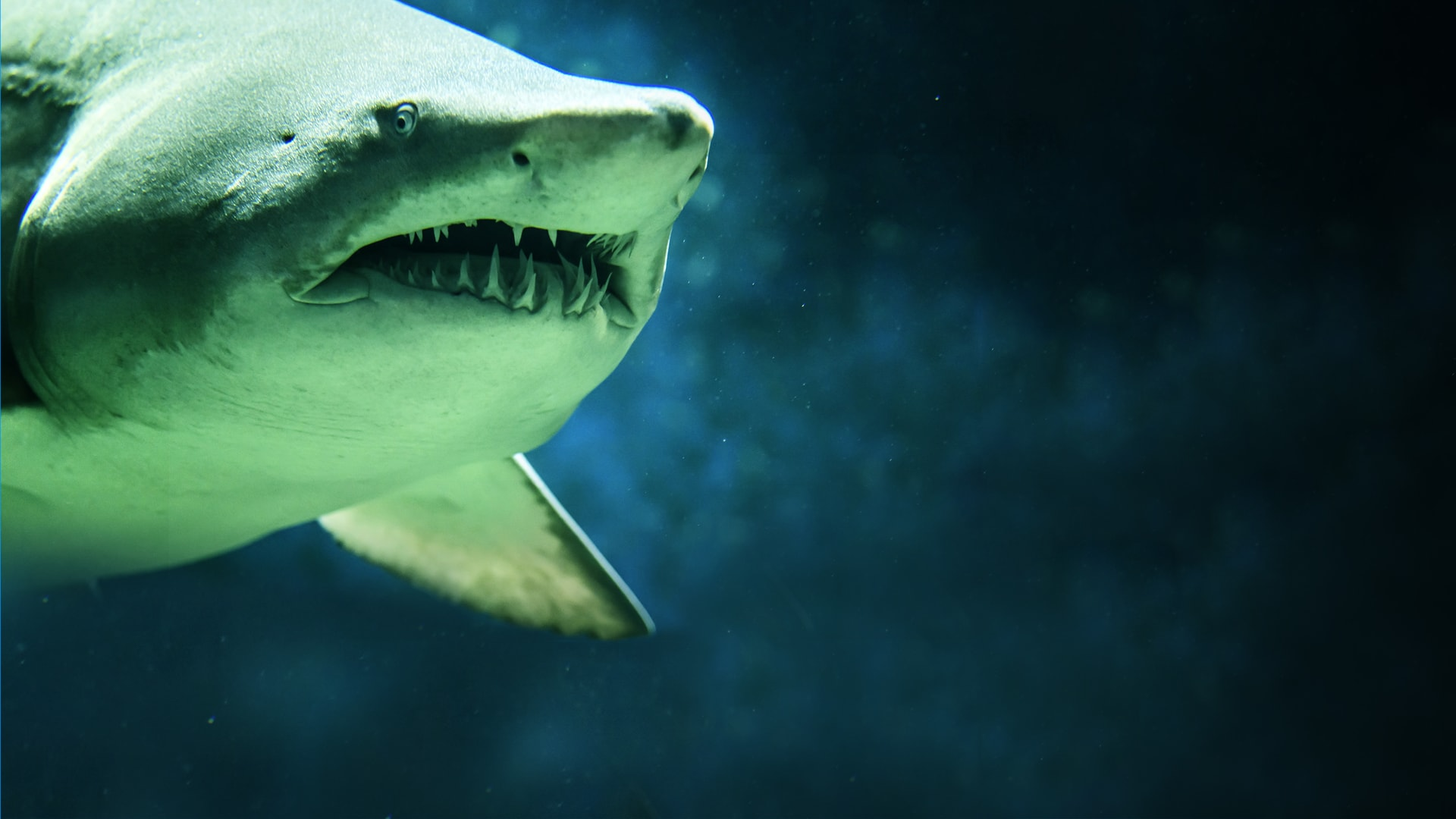 Shark Attack Wallpaper Hd 87034 Loadtve